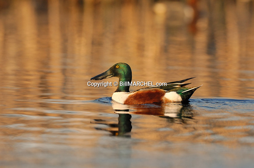 00350-009.09 Northern Shoveler Duck (DIGITAL) male on the water of small marsh typical of species.  Spoonbill, wetland.  H4L1
