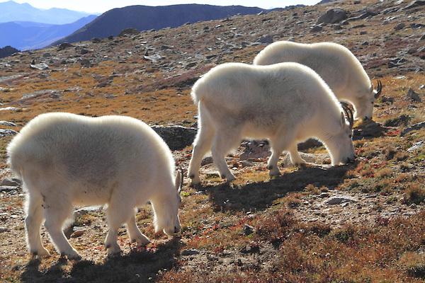Three Mountain Goats (Oreamnos americanus) on the alpine slopes of Mount Evans (14250 feet), Rocky Mountains, west of Denver, Colorado, USA Guided photo tours. .  John leads private, wildlife photo tours throughout Colorado. Year-round.