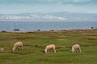 Sheep grazing on the coast, Bolton Le Sands, Lancashire.