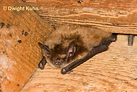 MA20-642z  Little Brown Bats, Myotis lucifugus