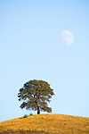Waxing moon rising over hill-side oak in Amador County, Calif.