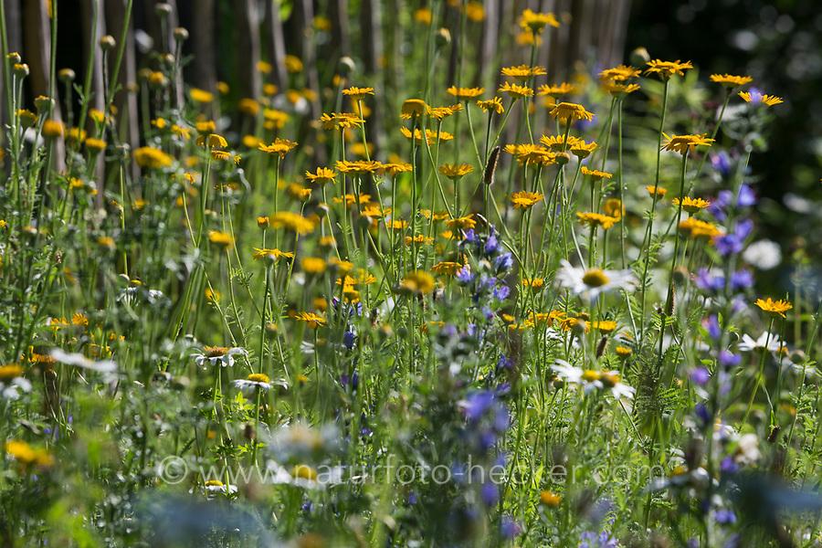 Naturgarten mit Margeriten, Färberkamille, Frauenmantel, Natternzunge, Natternkopf und anderen Pflanzen,  Gartenzaun, Zaun, Staketenzaun, Stakettenzaun