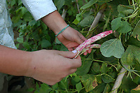 La Bagnara. Azienda agricola per la produzione di fagioli biologici. Raccolta di fagioli di Sutri. La Bagnara. Farm for the production of organic beans.Farmers during the harvesting of Sutri beans. ....