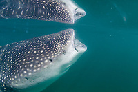 Whale shark (Rhincodon typus) feeding underwater, Holbox Mexico, Caribbean, Atlantic