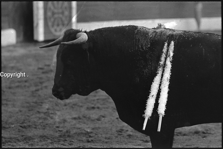3 Octobre 1976. Vue du taureau lors de la corrida de Espla dans les arènes de Toulouse.