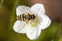 Behaarte Schwebfliege, Weibchen, Blütenbesuch, Nektarsuche, Bestäubung, Blütenökologie, Syrphus torvus, hoverfly, female, hover fly, syrphid fly, flower fly, hoverflies, hover flies, syrphid flies, flower flies