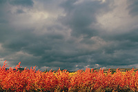 Stormy Sky over Trembling Aspen Trees / Aspens (Populus tremuloides), Northen British Columbia, Canada - Autumn / Fall
