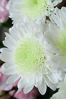 Chrysanthemum in bloom closeup with petals