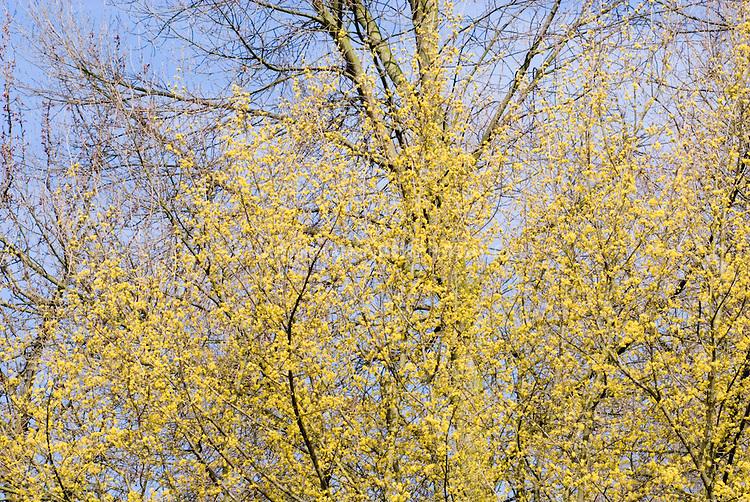Cornus mas in fragrant spring bloom