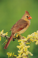 Northern Cardinal, Cardinalis cardinalis,female on blooming Blackbrush Acacia (Acacia rigidula) , Lake Corpus Christi, Texas, USA, March 2003