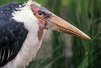 Marabou wood stork.