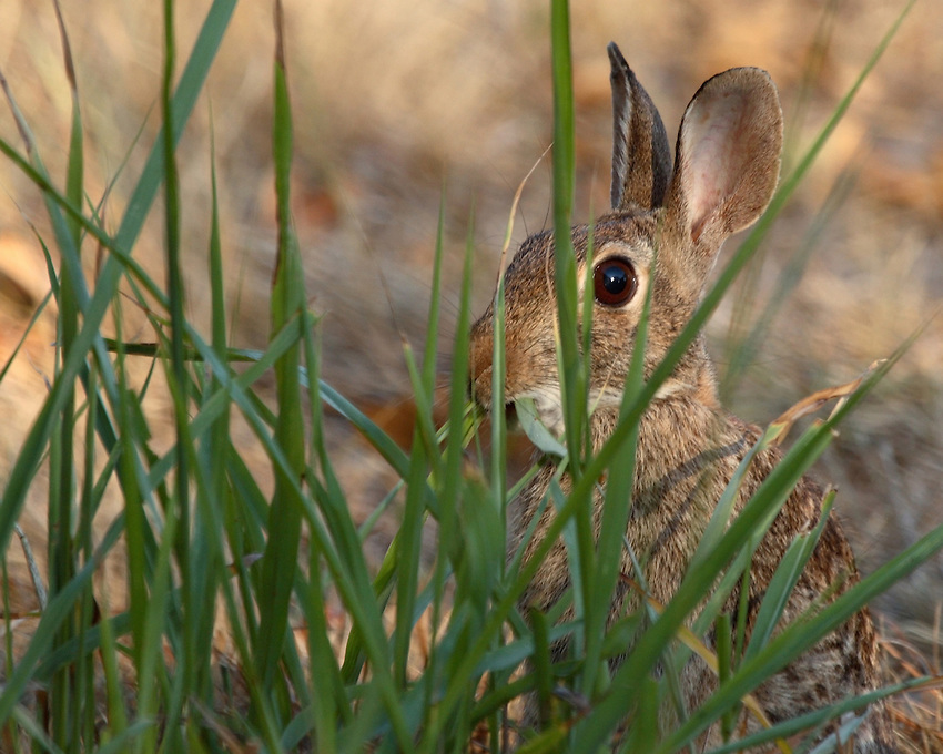 Eastern Cottontail Rabbit (Sylvilagus floridanus), early morning light. National Wildlife.