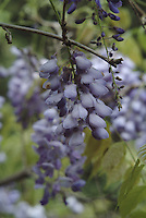 Blue violet flowers of the Chinese wisteria plant bloom in Sonoma County California