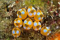 White-spotted ascidian, Clavelina diminuta, Amami-ohsima island, Kagoshima, Japan, Pacific Ocean
