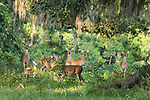 Damon, Texas; six adults and a white-tailed deer fawn standing in a clearing in the woods in late afternoon dappled sunlight
