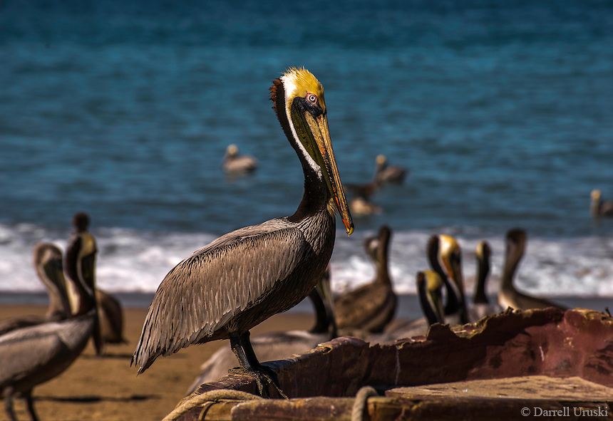 Fine Art Photograph of a Pelican perched on an old wooden fishing boat along the Pacfic Ocean in Puerto Vallarta, Mexico.