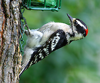 Adult male downy woodpecker at suet feeder