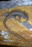 Mauereidechse, Mauer-Eidechse, Lacerta muralis, Podarcis muralis, common wall lizard