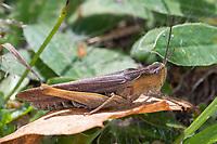Brauner Grashüpfer, Feldheuschrecke, Weibchen, Chorthippus brunneus, Glyptobothrus brunneus, Chorthippus bicolor, Stauroderus brunneus, field grasshopper, common field grasshopper, female, le criquet duettiste