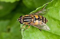 Gemeine Sonnenschwebfliege, Sonnen-Schwebfliege, Sumpfschwebfliege, Sumpf-Schwebfliege, Weibchen, Schwebfliege, Helophilus pendulus