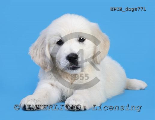 Xavier, ANIMALS, dogs, photos, SPCHdogs771,#A# Hunde, perros