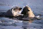 Polar bears swimming in icy waters, Canada