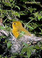 WB07-011z  Yellow Warbler - female on nest - Dendroica petechia