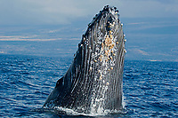 A close look at the barnacles and pleats below the chin of a breaching humpback whale, Megaptera novaeangliae, Hawaii.