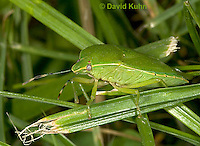 0720-07rr  Green Stink Bug - Acrosternum hilare - © David Kuhn/Dwight Kuhn Photography