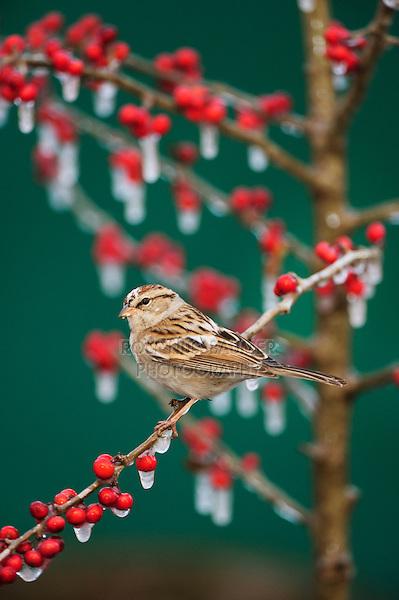 Chipping Sparrow (Spizella passerina), leucistic adult on ice covered Possum Haw Holly (Ilex decidua) berries, New Braunfels, San Antonio, Hill Country, Central Texas, USA