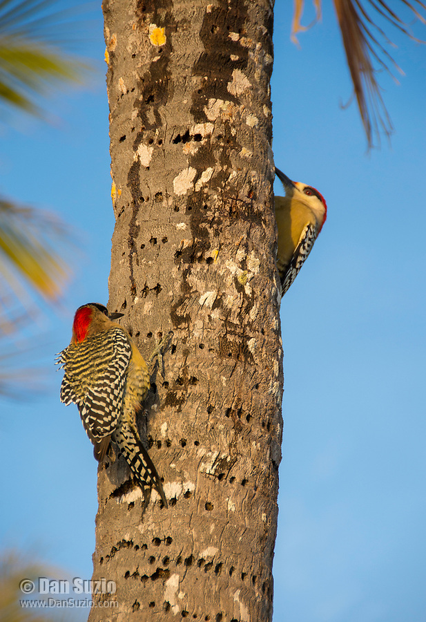 Two West Indian Woodpeckers, Melanerpes superciliaris murceus, perch on the trunk of a coconut palm on Isla de la Juventud, Cuba