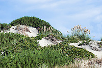 Dune mound and sea oats, Outer Banks, North Caolina, USA