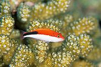 Forster's hawkfish or Blackside hawkfish or Freckled hawkfish , Paracirrhites forsteri, Amami-ohsima island, Kagoshima, Japan, Pacific Ocean