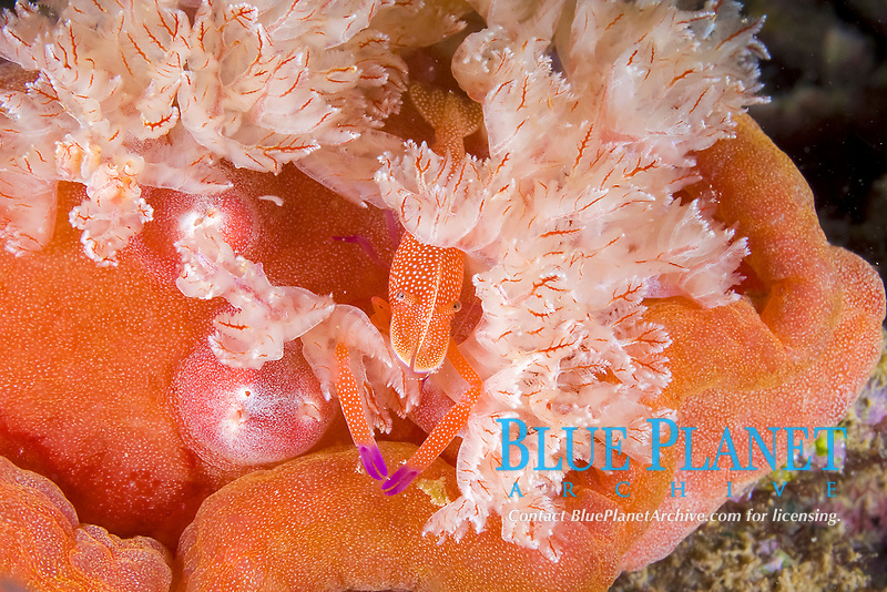 Imperial shrimp, Periclimenes imperator, on Spanish dancer nudibranch, Hexabranchus sanguineus, Lembeh Strait, North Sulawesi, Indonesia,