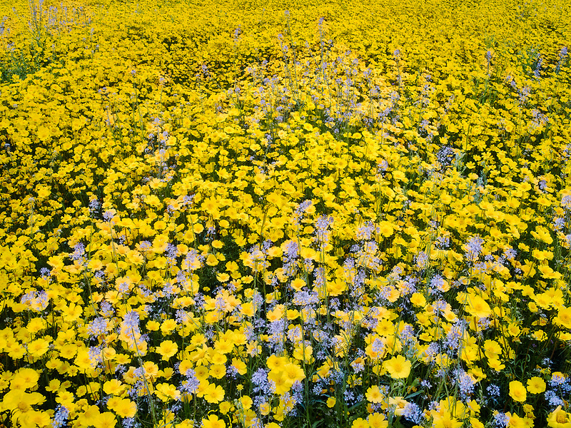 Field of Hillside Daisies (Monolopia lanceolata) and blue Devil's Lettuce or Fiddleneck (Amsinckia tessellata)<br />