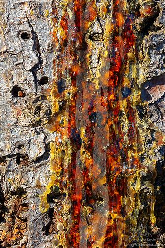 Sapsucker Damage on Elm Tree