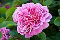 Rosa Princess Anne ('Auskitchen'), late June. A modern shrub rose first introduced by David Austin in 2010.