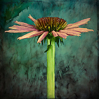 Native American praire flower with deep roots. Very drought tolerant. Purple cone flower from another viewpoint. A flower with attitude.<br /> <br /> -Limited Edition of 50 Prints