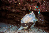 green sea turtle, Chelonia mydas, entangled and drowned in a rope tied to a plastic bottle, Galapagos Islands, Ecuador, Pacific Ocean