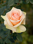 Marilyn Monroe Rose, Rosa hybrid tea