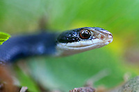 An Eastern Racer ( Coluber constrictor LINNAEUS) snake crawls in a Holly Hill, Florida backyard. (photo by Brian Cleary/ www.bcpix.com )
