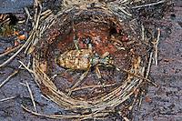 Schrotbock, Kleiner Zangenbock, Überwinterung in der Puppenwiege, Kiefer-Zangenbock, Spürender Zangenbock, Kleiner Kiefernzangenbock, Rhagium inquisitor, Ribbed pine borer, Ribbed pine-borer