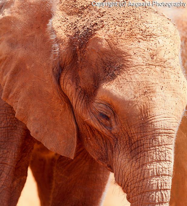 Orphan elephant, David Sheldrick Wildlife Trust, Nairobi.