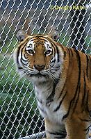MA40-019z  Bengal Tiger - Panthera tigris