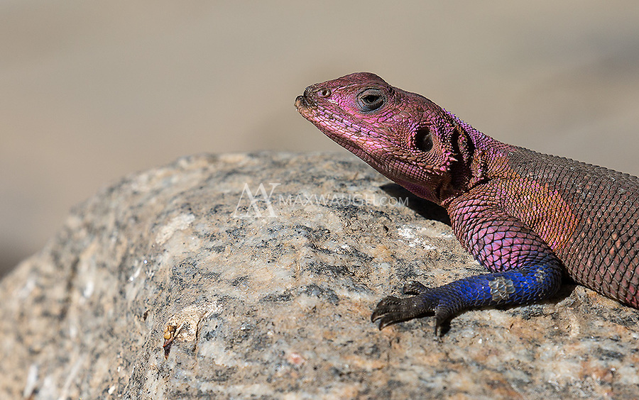 We saw a couple of the colorful agama species found in Tanzania during this trip. The common agama sports a brilliant pink, blue and purple set of scales.