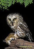 OW03-104z  Saw-whet owl - with mouse prey - Aegolius acadicus