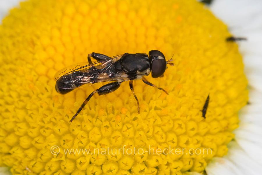Kleine Mistbiene, Gemeine Keulenschwebfliege, Keulen-Schwebfliege, Männchen, Syritta pipiens, thick-legged hoverfly, Thick legged Hoverfly, male