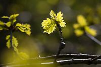 Stiel-Eiche, im Frühjahr, Frühling, junge Blätter, Blatt, Eichenlaub, Eichen, Stieleiche, Eiche, alte Eiche in der Elbtalaue, Quercus robur, Quercus pedunculata, English Oak, pedunculate oak, Le chêne pédonculé