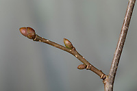Hasel, Knospe, Knospen, Gewöhnliche Hasel, Haselnuß, Haselnuss, Corylus avellana, Cob, Hazel, bud, buds, Coudrier, Noisetier commun