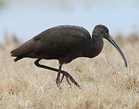 Nonbreeding glossy ibis